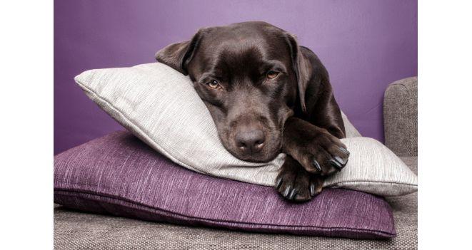 Koeramähe pole mugavuslahendus - tervisehäda korral leevendab see looma stressi